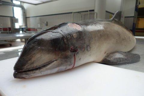 Bruinvis hoogstwaarschijnlijk neergelegd