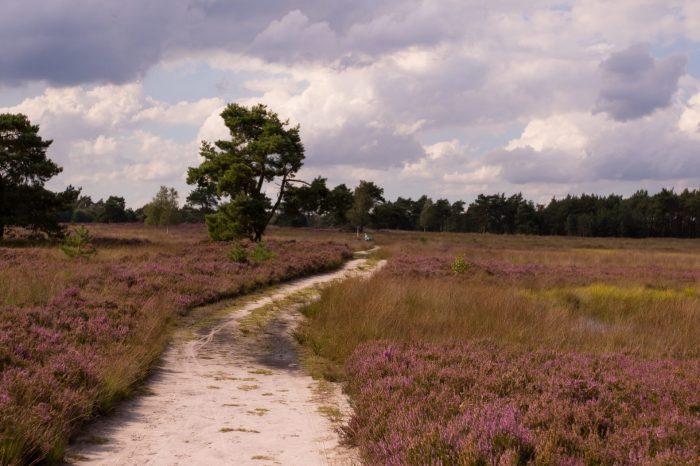 Bloeiende heidewandeling, Wisselse Veen en Tongerense Heide